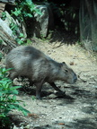 Photo of capybara