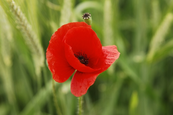 Free images of poppies
