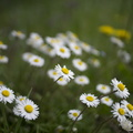White daisy flower images