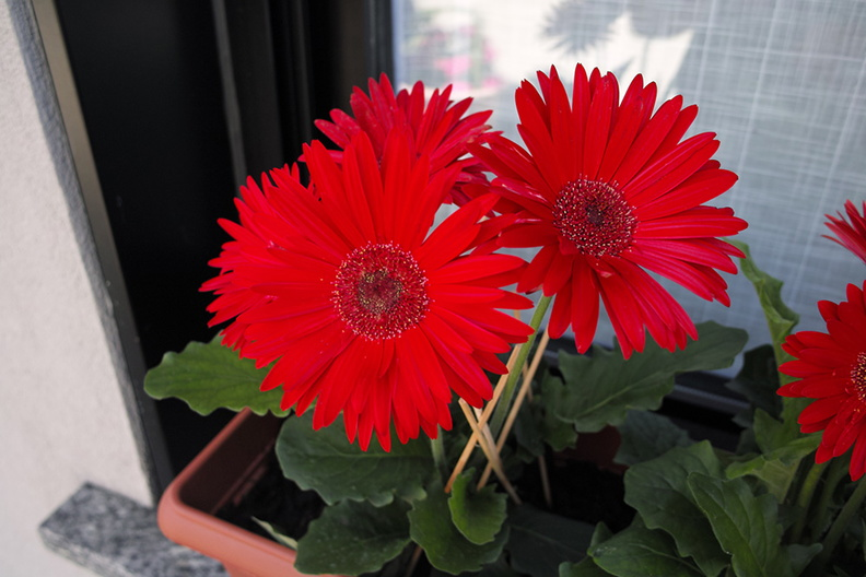 red_gerbera_flowers.JPG