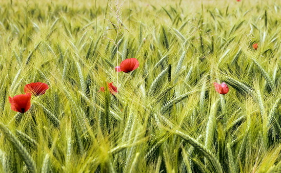 Images of poppies in a field