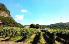 Pictures of italian vineyards