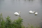 Swan images free,pictures of swans on water