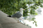 Grey and white seagull