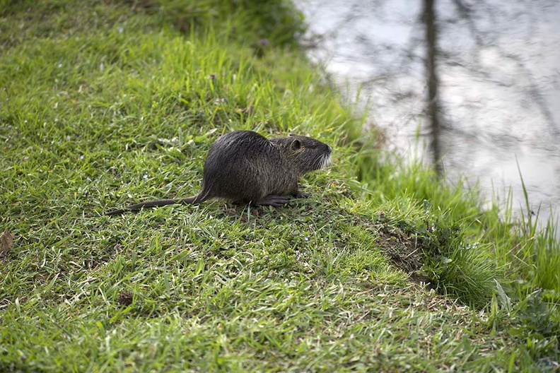 nutria_swamp_rat.jpg