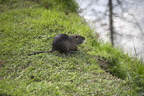 Nutria photos,nutria swamp rat