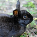 Free rabbit images,black rabbit photography