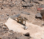 Fuerteventura squirrel, ground squirrel