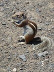 Ground squirrel eat