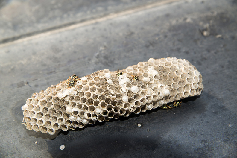 wasp_nests_images.JPG