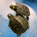Small pet turtle species