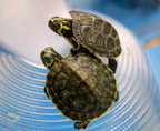 Small water turtles