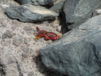 Sally lightfoot crab adaptations