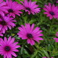 Violet african daisy