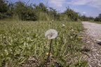 White dandelion flower,dandelion head