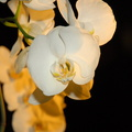 White orchid flower images