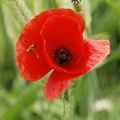 Photos of red poppies