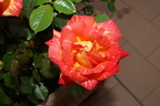 Harry Wheatcroft rose