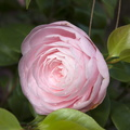 Single pink rose flower