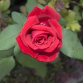 Love red rose photos