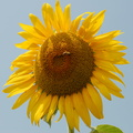 Sunflower stock,sunflower images free download