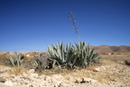 Photos of agave plants