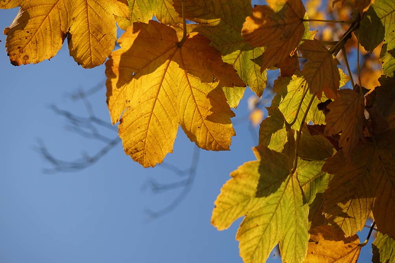 yellow_leaves_in_autumn.JPG