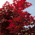 Red foliage trees