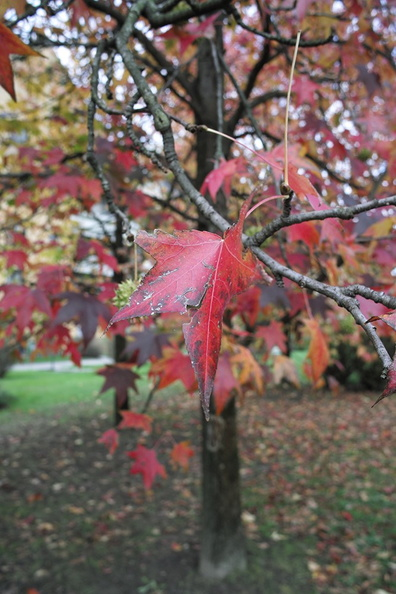 red_leaves_in_autumn.JPG