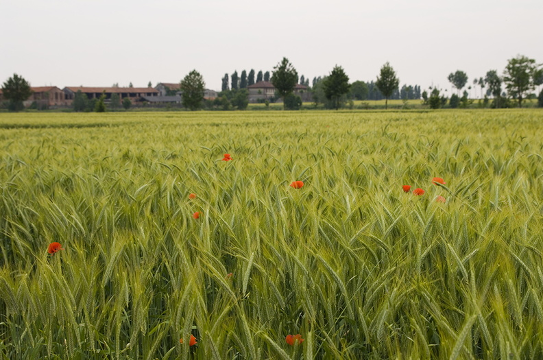 Field of wheat picture,photos of red poppies