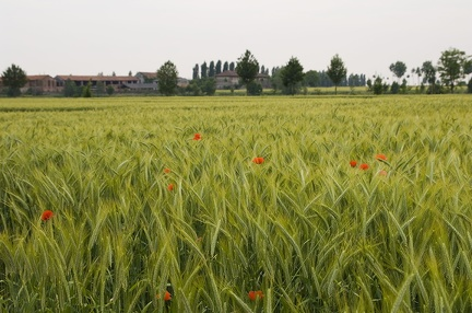 Field of wheat picture,photo of wheat plant
