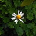 Daisy flower photo