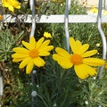 Yellow plants in garden,yellow flower with yellow center