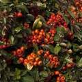 Plant with orange berries in autumn