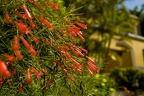 Large red flowering bush