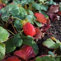 Small strawberry plant