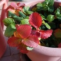 Green plant with red leaves