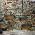 Aquarium piranha fish