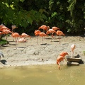 Real pink flamingos