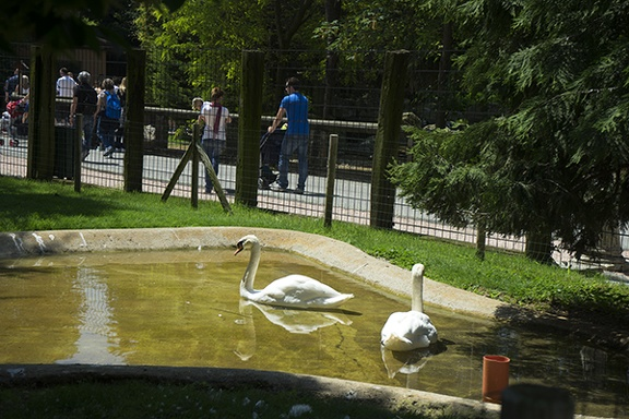 Swans and the swimming,two white swans