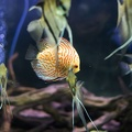 Symphysodon haraldi,beautiful discus fish
