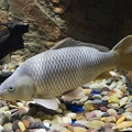 The carp fish,white carp
