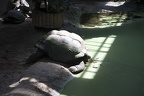 The giant turtle,giant Galapagos turtle