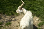The white goat,goat with curved horns