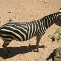 Wild animals zebra, South african zebra