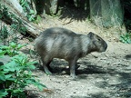 Capybara photo of the day,big rodent pet