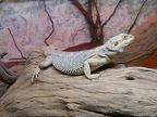 The bearded dragon lizard,reptile bearded dragon