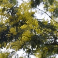 Mimosa plant yellow flowers