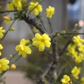 Plant with little yellow flowers