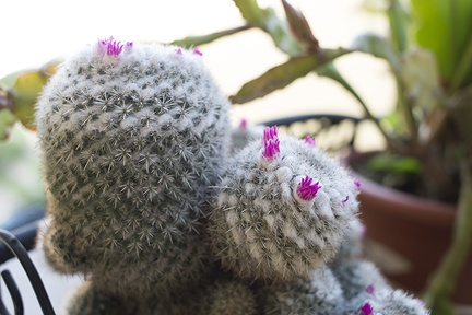 Cactus like plant with pink flowers,small potted succulent plants